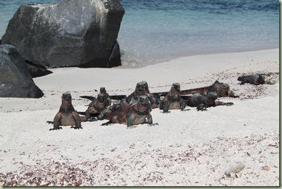 iguana5