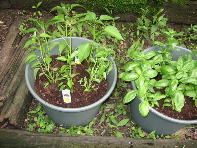 Serrano and jalapeño peppers
