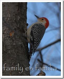 Red-Bellied-Woodpecker-Feb-15-2007-1