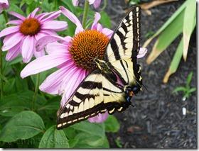 Echinacea Monarch