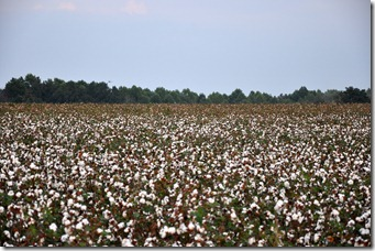 cotton time 091010 (22)