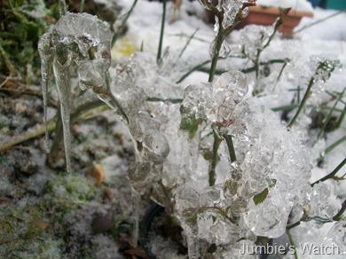 Icy Rose 1