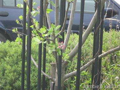Apple in bloom