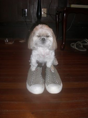 Puppy wearing shoes