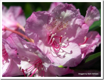 rhododendron-15