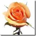 Azafran_Peach_Rose_150