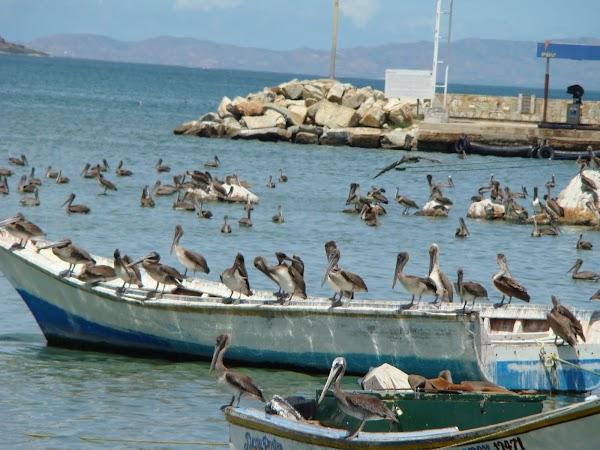 Obiective turistice Venezuela: pelicani isla margarita.JPG