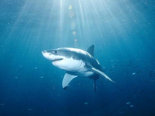 great-white-shark_www.wonders-world.com_001