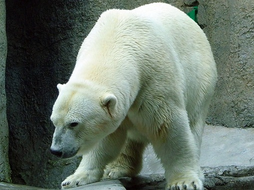 list of major species bears_www.wonders-world.com_1205