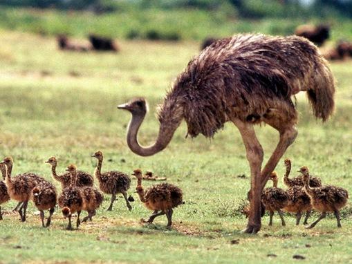 Ostrich biggest, strongest, fastest bird in the World_www.wonders-world.com_5