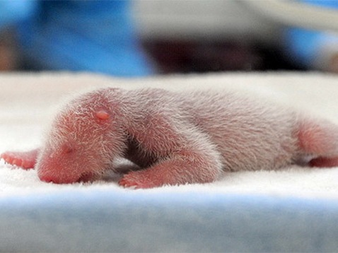 [Process of Baby Panda Growing 01[11].jpg]