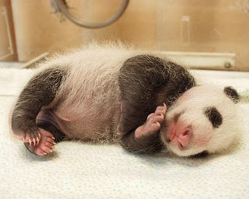 Process of Baby Panda Growing 10