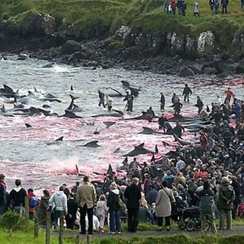 Ritual Pembunuhan Masal ikan Lumba lumba (Dewasa)