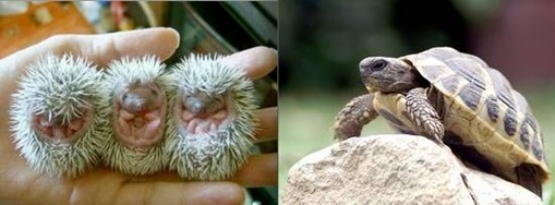 Turtle + Hedgehog