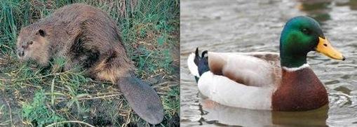 Duck + Beaver