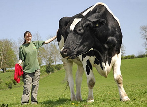 the worlds biggest cow
