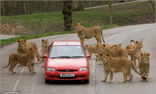 animals-attacking-cars-13
