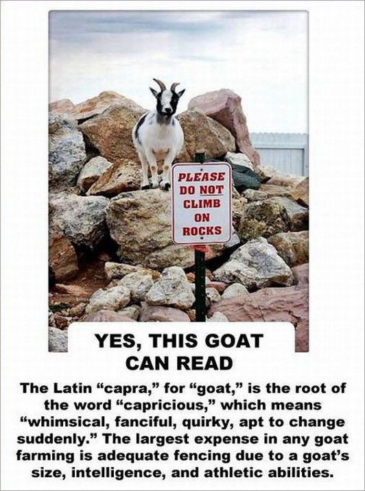 facts about the goat -2147483644