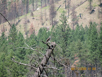 Osprey on Southfork of Salmon River