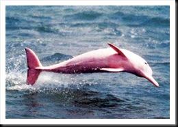 delfin-rosa