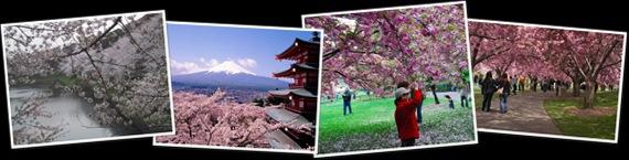 Ver cherry blossom