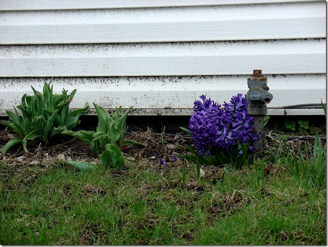 Hyacinths for the Soul