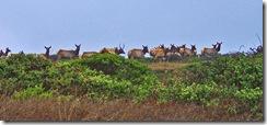 Tule Elk TF