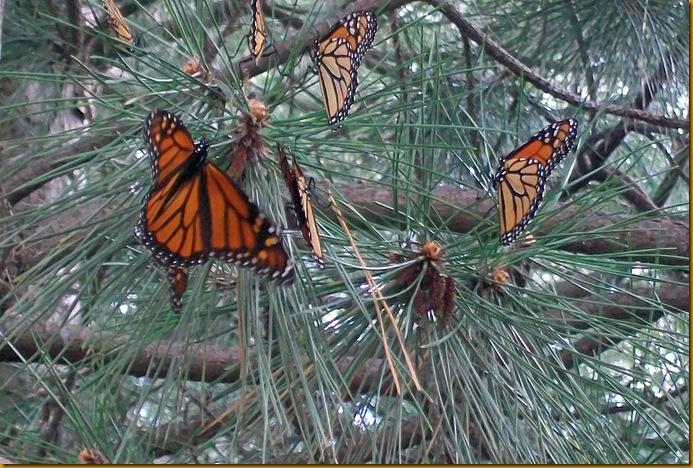 monarchs closeup