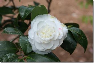 Camellia White 2