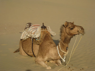 Camel in the Thar Desert in Rajasthan