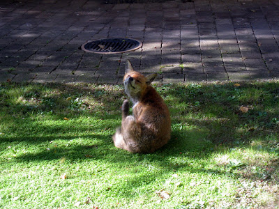 Fox in garden in the middle of the day