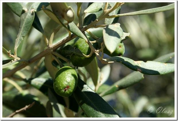 oliwka, drzewo oliwne