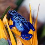 Blue Poison Frog.jpg