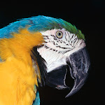Blue and Yellow Macaw2.jpg