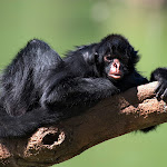 Black-Faced Spider Monkey.jpg