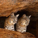 Bobcats, Tucson, Arizona.jpg