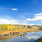 Bison, Little Missouri River, Theodore Roosevelt National Park, North Dakota.jpg