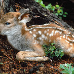 Black-tailed Deer Fawn, Olympic National Park, Washington.jpg