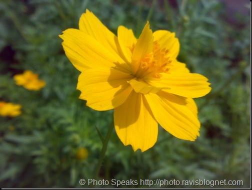 yellow_flower_2