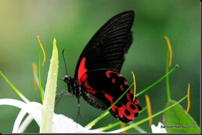 Scarlet Mormon - Female - 2