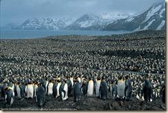 king-penguins-south-georgia