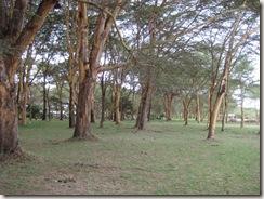 monstrous acacia trees
