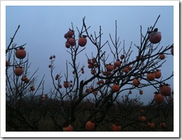 CAQUE-TREE
