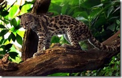 margay-tiger-cat-4