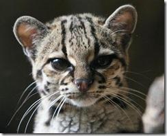 margay-tiger-cat-2