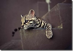 margay-tiger-cat-6