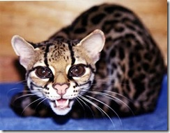 margay-tiger-cat-7