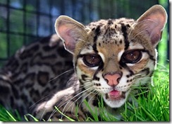 margay-tiger-cat-8