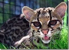 margay-tiger-cat-8