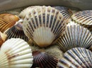 scallop_shell_- nantucket scallop shells